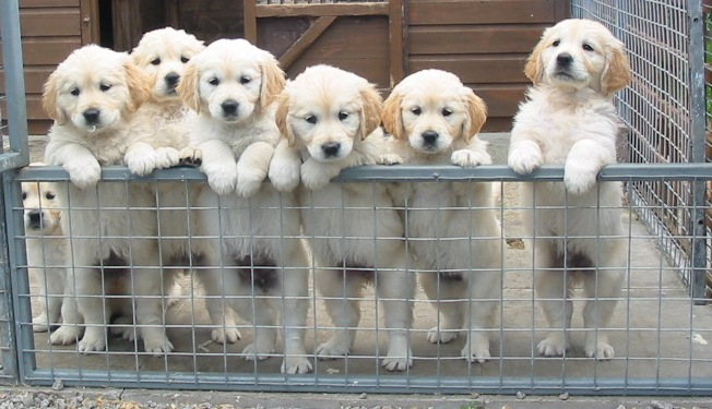 Golden retriever puppy uk